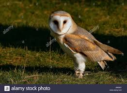 Animal Bird Birds Raptor Falconer Falconry Owl Shrews Barn Owl ... Barn Owl Facts About Owls The Rspb Bto Bird Ring Demog Blog October 2014 Chouette Effraie Lechuza Bonita Sbastien Peguillou Owl Free Image Peakpx Wikipedia Barn One Wallpaper Online Galapagos Quasarex Expeditions Hungry Project Home Facebook Free Images Nature White Night Animal Wildlife Wild Hearing Phomenal Of Nocturnal Wildlife Animal Images Imaiges