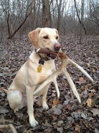 antler hunting dogs frequently asked shed dog training questions