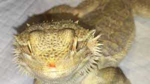 Bearded Dragon Shedding In Patches by Bearded Dragon Wound Chameleon Forums