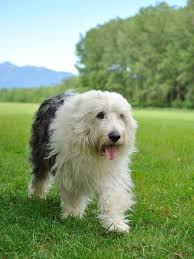 Large Dog Breeds That Dont Shed by Hairy Hounds 7 Stunning Long Haired Dog Breeds Practical Paw