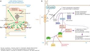 High Ceiling Diuretics Ppt by Drugs Affecting Renal Excretory Function Goodman U0026 Gilman U0027s The