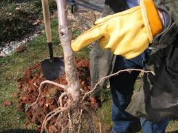 Fertilizer Requirements For Pumpkins by How To Raise Healthy Cherries How Tos Diy