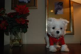Non Shedding Hypoallergenic Small Dogs by About Teddies U0026 Maltese
