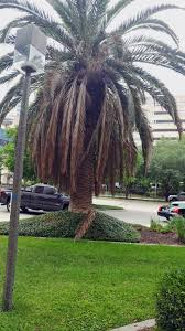 Dars Porch And Patio Hours by Pygmy Palm Growing U2013 Care For A Pygmy Date Palm Tree