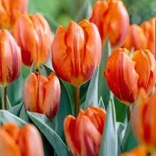 tulip princess irene 25 bulbs or buy in bulk winter bulbs