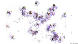 What Better Way To Celebrate The First Of Month Than By Highlighting Septembers Birth Flower Asters Are Known For Its Daisy Like Appearance