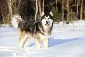 difference between alaskan malamute siberian husky and alaskan