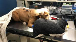 100 Arrow Truck Sales Troy Il Puppy Survives Being Shot In Head With Arrow