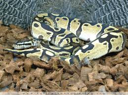 quest for the perfect substrate ball python addiction www