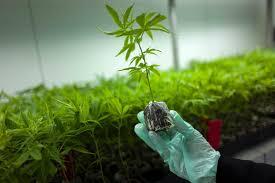 drogen tausende könnten antrag auf cannabis anbau stellen