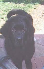 My Cane Corso Shedding A Lot by 7 Cane Corso Shedding A Lot The Newfoundland Dog Breed Do