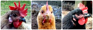 Do You See What I See 12 Fascinating Facts about Chicken Eyesight