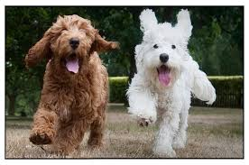 Non Shedding Dogs Small To Medium by Top 20 Most Cutest Poodle Mix Breeds That You Need To Know