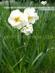narcissus pseudonarcissus bridal crown daffodil plants