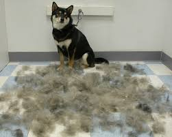 do shiba inus shed hair typical shiba grooming session they don t shed they explode