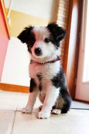 Do Blue Heeler Border Collies Shed by 17 Best Border Collies Images On Pinterest Border Collies