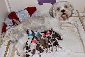 My Lhasa Apso Is Shedding Hair lhasa poo lhasa apso poodle mix info temperament puppies pictures