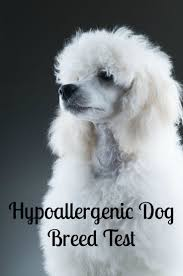 Non Shedding Dog Breeds Small by Best 25 Hypoallergenic Dog Breed Ideas On Pinterest Small
