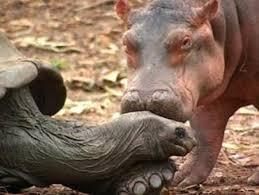 si鑒e social hippopotamus si鑒e social hippopotamus 100 images 25 best memes about
