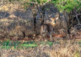 How to Find Deer Bedding Areas