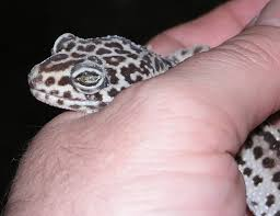 Do Leopard Geckos Shed by Bummer Alert Album On Imgur