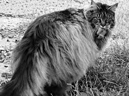 Do Maine Coons Shed In The Summer by Wicked Yankee December 2011