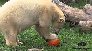 Bronx Zoo Halloween 2014 by Halloween Pumpkin Treats At Brookfield Zoo Youtube
