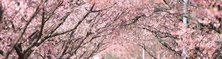 Cherry Blossom Bathroom Decor by Fresh Bathroom Tokyo Sakura Spots Top Cherry Blossom Viewing In