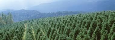 Choose Cut Christmas Trees