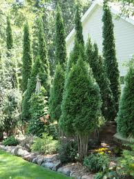 Fresh Christmas Trees Types by Best 25 Natural Privacy Fences Ideas On Pinterest Privacy