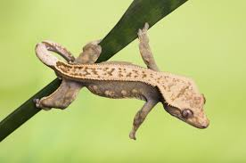 Crested Gecko Shedding Behavior by Animals With Prehensile Tails Gripping Facts And Pictures