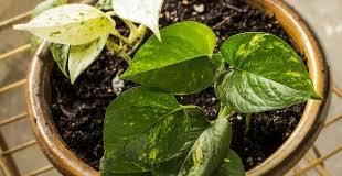 entretien plante grasse d interieur guzmania rempotage entretien culture et arrosage