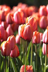 royal park bulbs plants