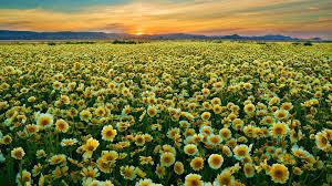 field of flowers Field of Flowers Pinterest