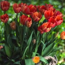 tulipa salmon pearl tulip bulbs for sale