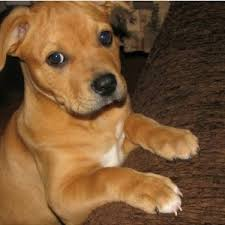 Do Shar Pei Lab Mix Shed by Shar Pei Lab Shepherd Mix Images U0026 Pictures Becuo Sweet