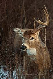 When Do Whitetails Shed Their Antlers by Shed Hunters Under Scrutiny In Washington Legislature The
