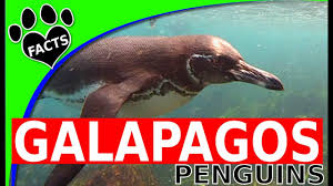 Penguins 101 Galapagos Islands Penguin Facts For Kids