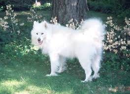 Do Samoyeds Shed All The Time by Playing Again Sams Available Dogs