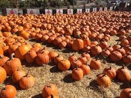 Pumpkin Picking Nj by 20 Apple Picking Farms Pumpkin Patches And Cider Mills In The