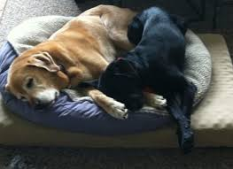 Kirkland Dog Beds by Costco Dog Beds Canada Covers For Dog Beds Uk Noten Animals Dog