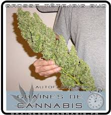 graines de cannabis autofloraison pour l extérieur