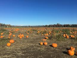 Seattle Pumpkin Patch by The Farm Swans Trail Home Facebook
