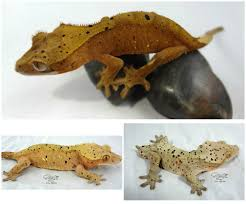 Crested Gecko Shedding Help by Pink Super Dalmation Crested Gecko By Sticky Claw Geckos