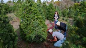 Pinecrest Christmas Tree Farm by Images Of Christmas Tree Farms Michigan Halloween Ideas