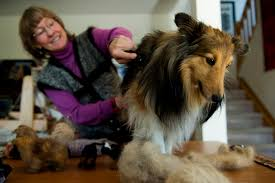 Sheltie Shedding In Winter by Love Your Dog Enough To Wear A Sweater Made From Its Fur This