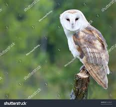 Curious Barn Owl Stock Photo 60128467 - Shutterstock Barn Owl Wikipedia Owl Owlingcom Large Needle Felted By Jessiedockins On Deviantart This Is All You Need To Know About Owls Youtube Watch The Secret To Why Barn Owls Dont Lose Their Hearing Waits Birdnote Adopt Charlie Hawk Conservancy Trust Audubon Field Guide Box Company Birds Of The World Owls What Male Want Big Spots Curious Stock Photo 60128467 Shutterstock