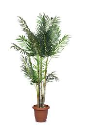 golden palm in pots areca palm care complete guide on growing areca palm garden
