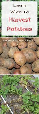 When To Harvest Potatoes. Knowing When To Harvest Potatoes From ... Texas Garden The Fervent Gardener How Many Potatoes Per Plant Having A Good Harvest Dec 2017 To Grow Your Own Backyard 17 Best Images About Big Green Egg On Pinterest Pork Grilled Red Party Tuned Up Want Organic In Just 35 Vegan Mashed Potatoes Triple Mash Mashed Pumpkin Cinnamon Bacon Sweet Gardening Seminole Pumpkins And Sweet From My Backyard Potato Salad Recipe Taste Of Home