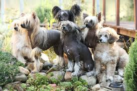 Do All Dogs Shed Fur by The 10 Dog Breeds That Shed The Least U2013 Iheartdogs Com